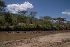 Μεγάλη ομάδα hippos, Serengeti, Τανζανία Στοκ φωτογραφία με δικαίωμα ελεύθερης χρήσης