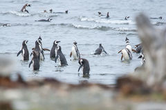 Μεγάλη ομάδα penguins στην ακτή Στοκ Εικόνες