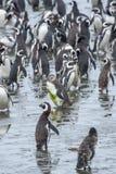 Μεγάλη ομάδα penguins Στοκ Εικόνα