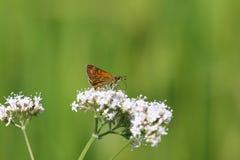 Μεγάλη πεταλούδα πλοιάρχων (venata Ochlodes) Στοκ φωτογραφία με δικαίωμα ελεύθερης χρήσης