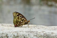 Μεγάλη πορφυρή πεταλούδα στο νερό Στοκ Φωτογραφίες