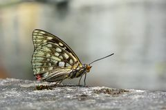 Μεγάλη πορφυρή πεταλούδα στο νερό Στοκ φωτογραφίες με δικαίωμα ελεύθερης χρήσης