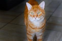 Μεγάλη ριγωτή γάτα πιπεροριζών με τα χρυσά μάτια Στοκ φωτογραφία με δικαίωμα ελεύθερης χρήσης