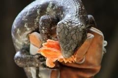 Μεγάλη σαύρα που τρώει το λουλούδι Στοκ Εικόνα