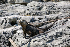 Μεγάλη σαύρα στην παραλία της Κόστα Ρίκα Στοκ Φωτογραφίες