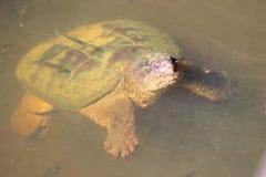 Μεγάλη σπάζοντας απότομα χελώνα στη λίμνη Στοκ Φωτογραφίες