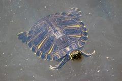 Μεγάλη σπάζοντας απότομα χελώνα στη λίμνη Στοκ φωτογραφίες με δικαίωμα ελεύθερης χρήσης