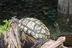 Μεγάλη στήριξη χελωνών Στοκ εικόνα με δικαίωμα ελεύθερης χρήσης