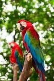 Μεγάλοι παπαγάλοι macaw στη φύση Στοκ Εικόνα