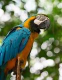 Μεγάλος παπαγάλος macaw στη φύση Στοκ φωτογραφίες με δικαίωμα ελεύθερης χρήσης