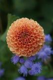 Μεγάλη σφαίρα του λουλουδιού Στοκ Φωτογραφίες