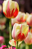 μεγάλη τουλίπα κόκκινων ανοίξεων fuschia λουλουδιών χρώματος κίτρινη Στοκ φωτογραφία με δικαίωμα ελεύθερης χρήσης