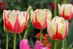 μεγάλη τουλίπα κόκκινων ανοίξεων fuschia λουλουδιών χρώματος κίτρινη Στοκ εικόνες με δικαίωμα ελεύθερης χρήσης