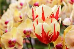 μεγάλη τουλίπα κόκκινων ανοίξεων fuschia λουλουδιών χρώματος κίτρινη Στοκ Εικόνα