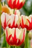 μεγάλη τουλίπα κόκκινων ανοίξεων fuschia λουλουδιών χρώματος κίτρινη Στοκ Εικόνες