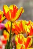 μεγάλη τουλίπα κόκκινων ανοίξεων fuschia λουλουδιών χρώματος κίτρινη Στοκ Φωτογραφίες