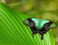 Μεγάλη τροπική πεταλούδα Στοκ εικόνες με δικαίωμα ελεύθερης χρήσης