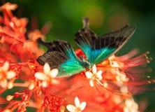 Μεγάλη τροπική πεταλούδα Στοκ φωτογραφίες με δικαίωμα ελεύθερης χρήσης