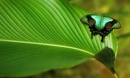 Μεγάλη τροπική πεταλούδα Στοκ Εικόνα