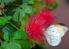 Μεγάλη τροπική πεταλούδα Στοκ Εικόνες