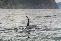 Μεγάλη φάλαινα δολοφόνων Στοκ εικόνα με δικαίωμα ελεύθερης χρήσης