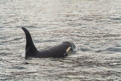 Μεγάλη φάλαινα δολοφόνων Στοκ Φωτογραφίες