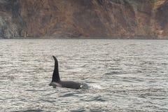 Μεγάλη φάλαινα δολοφόνων Στοκ Εικόνες