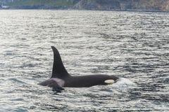 Μεγάλη φάλαινα δολοφόνων Στοκ φωτογραφία με δικαίωμα ελεύθερης χρήσης