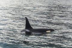 Μεγάλη φάλαινα δολοφόνων Στοκ εικόνες με δικαίωμα ελεύθερης χρήσης