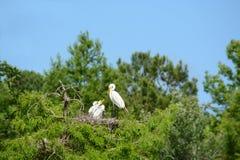 Μεγάλη φωλιά τσικνιάδων στο δέντρο Στοκ εικόνα με δικαίωμα ελεύθερης χρήσης