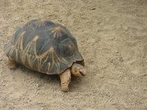 Μεγάλη χελώνα Στοκ Εικόνες