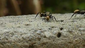 Μεγάλη χρυσή πάλη μυρμηγκιών απόθεμα βίντεο