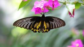 Μεγάλη όμορφη πεταλούδα απόθεμα βίντεο