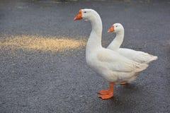 Μεγάλη όμορφη χήνα δύο που στέκεται στο δρόμο Στοκ Εικόνες