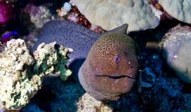 Μεγάλη moray διαβίωση στη μικρή Ερυθρά Θάλασσα Giftun στοκ φωτογραφία με δικαίωμα ελεύθερης χρήσης