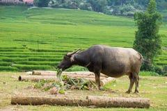 Μεγάλοι βούβαλοι του Βιετνάμ έξω από τη φύση στους πράσινους τομείς ρυζιού Στοκ εικόνες με δικαίωμα ελεύθερης χρήσης