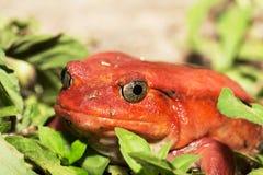 Μεγάλοι κόκκινοι βάτραχοι ντοματών, antongilii Dyscophus Στοκ εικόνες με δικαίωμα ελεύθερης χρήσης