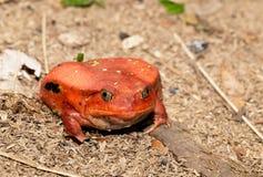 Μεγάλοι κόκκινοι βάτραχοι ντοματών, antongilii Dyscophus Στοκ Φωτογραφία