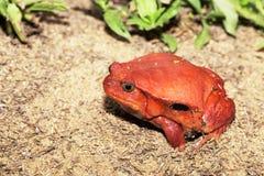 Μεγάλοι κόκκινοι βάτραχοι ντοματών, antongilii Dyscophus Στοκ Φωτογραφίες