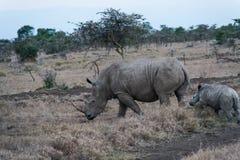 Μεγάλος άσπρος αφρικανικός ρινόκερος με το μωρό SweetWater, Κένυα Στοκ Φωτογραφία