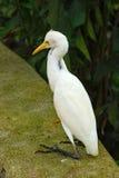 Μεγάλος άσπρος ερωδιός Ardea alba Στοκ Εικόνα