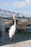 Μεγάλος άσπρος ερωδιός Ardea Alba Στοκ Φωτογραφία