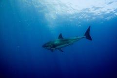 Μεγάλος άσπρος καρχαρίας έτοιμος να επιτεθεί υποβρύχιο στενό σε επάνω Στοκ φωτογραφία με δικαίωμα ελεύθερης χρήσης
