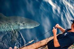 Μεγάλος άσπρος καρχαρίας έτοιμος να επιτεθεί Στοκ εικόνα με δικαίωμα ελεύθερης χρήσης
