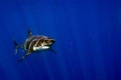Μεγάλος άσπρος καρχαρίας έτοιμος να επιτεθεί Στοκ Φωτογραφίες