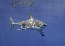 Μεγάλος άσπρος καρχαρίας Μεξικό Στοκ Εικόνα