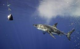 Μεγάλος άσπρος καρχαρίας Μεξικό Στοκ Φωτογραφία