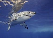 Μεγάλος άσπρος καρχαρίας Μεξικό Στοκ φωτογραφία με δικαίωμα ελεύθερης χρήσης