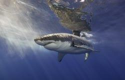 Μεγάλος άσπρος καρχαρίας Μεξικό Στοκ Εικόνες