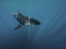 Μεγάλος άσπρος καρχαρίας υποβρύχιος Στοκ Φωτογραφίες